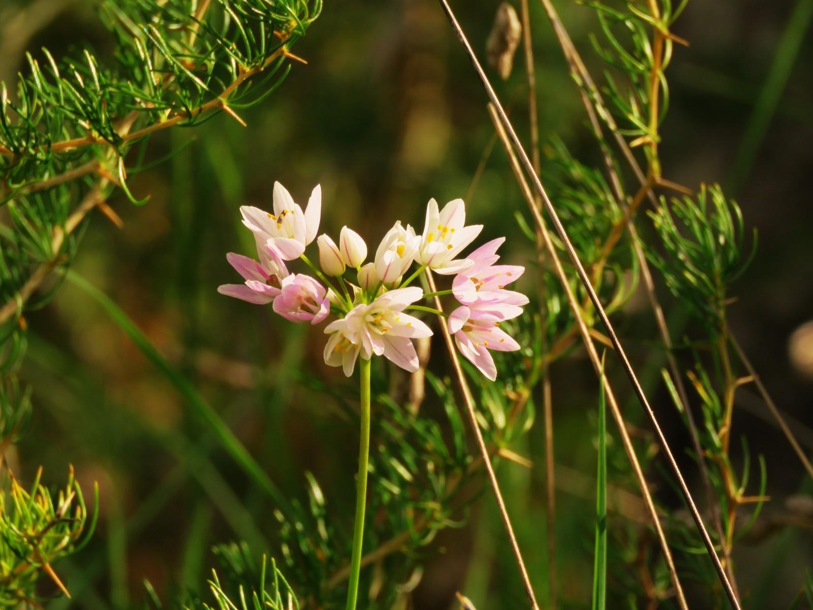 Alium-roseum-Rosy-Garlic DK:Rosenrød hvidløg. Sted: lige uden for gærdet mod nord.