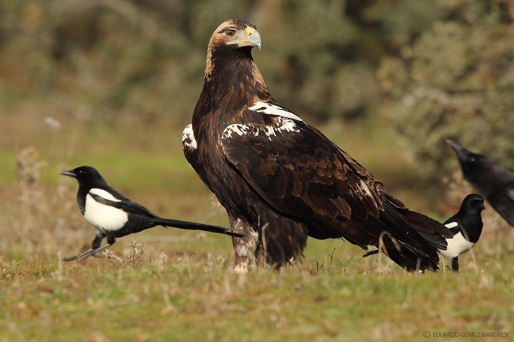Spanish-Imperial-Eagle